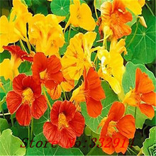 Free shipping 5 Nasturtium Seeds-- mix color ,DIY baskets, any container as well as beds and borders flower seeds plant