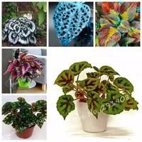 Rare-Flower-Begonia-Flowers-Wax-Begonia-Seeds-Perennial-Flower-Variety-of-Colors-Balcony-Coleus-Seeds-50.jpg_200x200