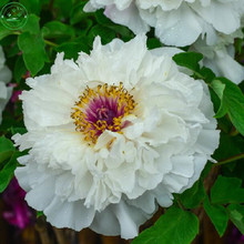 New White Fresh Seeds Rare Chinese  Peony Seeds Beautiful Flower Garden Bonsai Plants Paeonia Seeds 20PCS/Pack g58