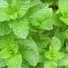 Marseed 100% Natrual Organic Vegetable Seeds Wholesale 400 pcs Spearmint Seeds Outdoor Home Gardening DIY Planting MAS176