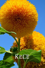 New Fresh Seeds Teddy Bear Sunflowers seeds Sunflower seeds Balcony Potted Plants Garden Bonsai Flower seeds Easy to plant 10pcs