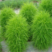 Summer cypress seed,Kochia broom seedlings peacock pine - 100 pcs / lot(China)