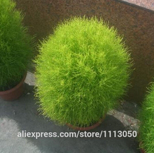 summer cypress seed,Kochia broom seedlings peacock pine ,Original Package seed about 100 particles(China)