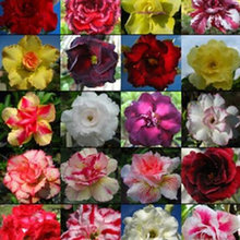 Multifarious Ornamental Grow Up Flower & Plants Seeds Garden For View Decorate New Arrival