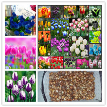 10PC authentic bonsai tulip bulbs 100% germination of flower seeds. (Not tulip seeds) attractive flowering plants