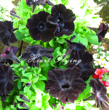 100 pcs black petunia seeds Rare Black Velvet Petunia Flower Seeds for home garden plant