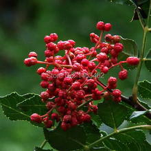 20PCS / bag prickly ash seeds, courtyard tree seeds free shipping