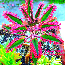Promotion * 100 Particles /pack Bonsai Red Longevity Flower Seeds Kalanchoe Novel Plants For Diy Home Garden Mini Succulent Pots