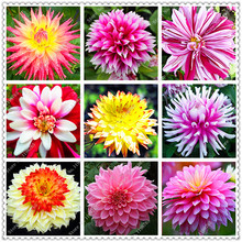 200pcs/bag Multi-Colored Dahlia Seeds to Choose Bonsai Dahlia Flower Seeds Perennial Plant Seeds for home garden
