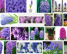 Promotion 100 PC hyacinth seeds, bonsai flower seeds, is not a light bulb Novel Seed(China)