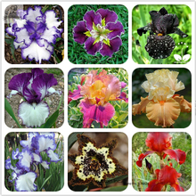 Rare Heirloom Iris Tectorum Perennial Flower Seeds, Professional Pack, 20 Seeds / Pack, Very Beautiful Flowers TS134