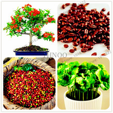 10pcs/bag Coffee Bean Seeds Balcony Bonsai Tree Plant  Coffee Cherry  Seeds for home garden easy grow
