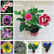 New Arrivals 100 Particle/bag Bonsai Flower Seeds Giant Hibiscus Seeds Exotic Flowers Mix Color, DIY Home Garden Potted