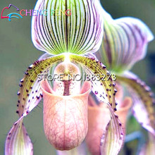 Advanced ornamental plants. The world's rare Water butterfly orchid seeds colorful spots, 100PCS bonsai seeds(China)