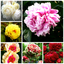 10pcs/lot Rare Heirloom Sorbet Robust Colorful Double Blooms Peony Tree Seeds Bonsai Plant Home Garden Free Shipping