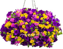 100pcs/bag  Hanging Petunia Mixed Seeds,rare petunia seeds,bonsai flowe morning glory r seeds,plant for home garden Easy to Grow