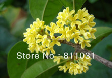Free Shipping 50pcs/bag Osmanthus fragrans perennial flower seeds fragrant aroma Osmanthus flowering plants seeds