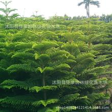 2017 Special Offer Summer Sementes Tree Seeds Freshly Collected Seed Cedar Scale Leaves Pyramid Real Locations 0.2kg/lot(China)