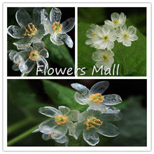 Skeleton Flowers Seeds 200pcs Astilboides tabularis Bonsai Rare Exotic Plant Free shipping Water becomes transparent  Interest