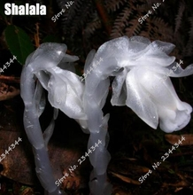 120pcs Rare Monotropa Uniflora Flower Seeds White Crystal Orchid Seeds Dwarf Plants Potted Plants Garden Flowers