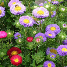 Chinese Aster Seeds (Callistephus)Give You A Garden Full Of Bright Summer Big Flowers Orginal Package  , 30 Particle / Bag