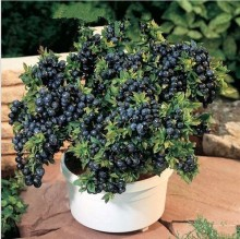 100pcs fruit seeds BlueBerry seeds Black pearl Blueberries DIY Countyard Bonsai plants Seeds for home & garden 100 seeds 49%
