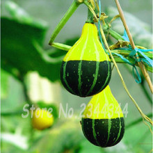 NEW Interesting 10 Smallfruit Bottle Gourd Seeds Yellow Super Sweet Special Shape Vegetable(China)