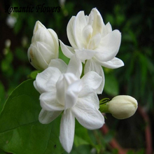 Free Shipping  White Jasmine Seeds, Fragrant Plant Arabian Jasmine Flower Seed 20 Particle/bag