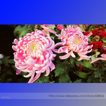 Pink Chrysanthemum Seeds, Professional Pack, 50 Seeds / Pack, Perennial Bonsai Flowers #NF965(China)