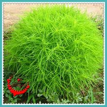 100 Summercypress Seeds Hardy Grass Plant Seeds Special Shape DIY Home Herb F013