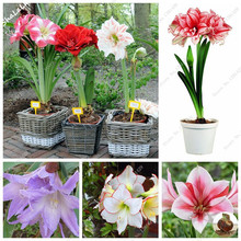 True Amaryllis Bulbs,Japanese Hippeastrum Flowers,Multi Color Flower Rhizome,Barbados Lily Bulbos,Bonsai Plant Easy Grow 1 Pcs