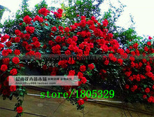 Explosion climbing rose garden climbing 100 flower seeds  for garden Climbing Rose  GREAT PROMOTION Plants planters Bonsai