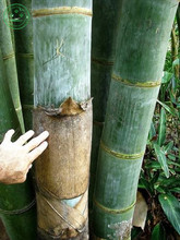 100+ Fresh Giant Bamboo Seeds with instructions - Dendrocalamus Giganteus W11