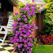 Purple fairy garden Climbing Roses bloom over time 200 flower seeds(China)