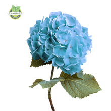 big sale 10 Hydrangea seeds real seeds perennial flower garden beautiful wedding party flower plant(China)