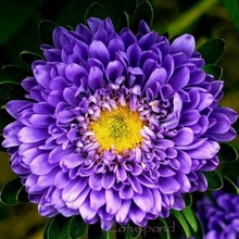 1 Lot 30Mix China Aster Flower Seeds Decorative garden Aroma drift A100