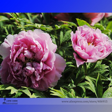 Rare 'Yin Hong Qiao Dui' Pink Red Peony Tree Shrub Flower Seeds, Professional Pack, 5 Seeds / Pack, Light Fragrant Flowers E3251