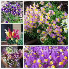 400 Linaria maroccana Seeds, Snapdragons mix color reseed itself Easy to grow, beautiful home garden flower(China)