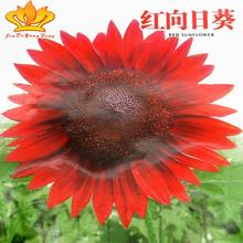 NEW 2016 Fashion 15pcs Red sunflower helianthus annus seeds garden heirloom seed bonsai plant seeds