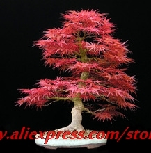 30seeds/bag Home Garden Plant Bonsai Tree Seeds Acer palmatum Crimson Queen Seeds Mini Japanese Red Maple Seeds Bonsai(China)