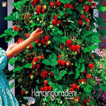 Big Sale!100 PCS/Lot Tree Climbing Strawberry Seeds Courtyard Garden With Fruit and Vegetable Seeds Potted ,#M90RTA(China)