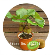 Big sale 100 rare bonsai kiwi seeds send seeds for gift fruit seeds for DIY home garden planting