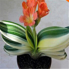 Spring Bonsai Clivia Seeds 100pcs 10kinds mix Flower Seeds Novel Blooming Plant for Courtyard Garden Free Shipping