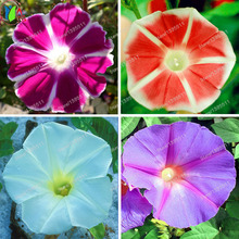 1bag=50 pcs Imported 'Wind Fire Wheel' Rose Red Morning Glory with White Edge Perennial Flower Seeds bonsai potted plant