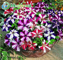 Free shipping Petunia seeds 50pcs garden home flowers bonsai balcony flower Morning glory seeds petulantly colorful semillas
