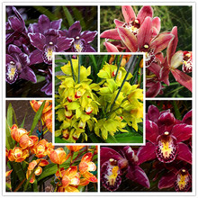 200PCS Cymbidium seeds,MIXED DIFFERENT COLORS , potted flower plant, has a meaning of longevity, for home and garden decoration(China)