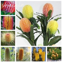 Big Promotion! Garden Flowers Seeds Banksia Coccinea Seeds Ornamental Plants Seeds,Natural growth, Flower Seeds For Sale 100pcs