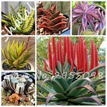 Sale 10 Seeds Aloe Rebutia Variety Mix Exotic Flowering Color Cacti Rare Cactus Aloe Seed Office Mini Plant Succulent Planting
