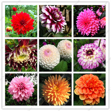 100 Pcs Pink Dahlia Flower Seeds Garden and Patio Potted Ornamental Plants Tassel Romantic Type Flower Seeds Garden Pot Planter(China)