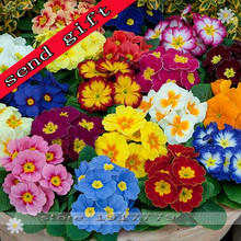100pcs/bag100%True Europe Primula acaulis seeds,Primrose Rare bonsai flower seeds for home garden Indoor bonsai plants